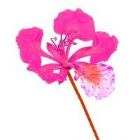 fleur rose photo