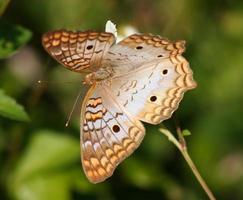 papillon paon blanc
