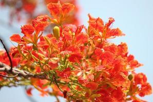 gros plan de fleurs de paon rouge photo
