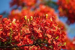 fleur d'arbre de flamme, royal poinciana flowe