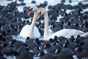 cygnes blancs sur un lac, autour de nombreuses foulques. photo