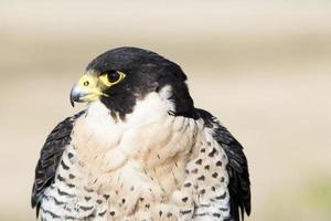 oiseau de proie falco peregrinus, fauconnerie. photo