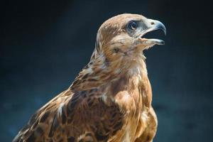 aigle des steppes photo