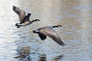 les bernaches du canada prennent leur envol depuis l'eau