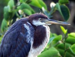 Héron tricolore juvénile (Egretta tricolor) photo