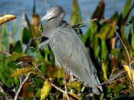 petit héron bleu (egretta caerulea) photo