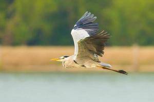 héron gris volant photo