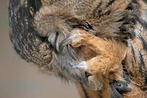 hibou grand-duc européen se gratter soigneusement. photo
