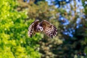 hibou volant photo