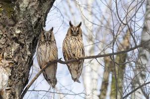 Deux chouettes à longues oreilles au printemps dans la forêt de bouleaux photo