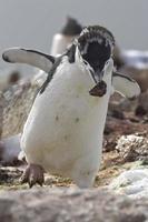 pingouin antarctique en mue qui est une pierre dans le nid photo