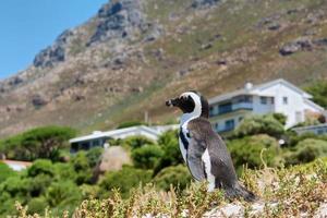petit pingouin mignon contre maison et montagne photo