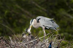 grand héron bleu nourrir les jeunes