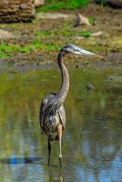 Héron hérisson dans l'étang du maryland photo