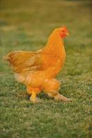 jeune poule photo
