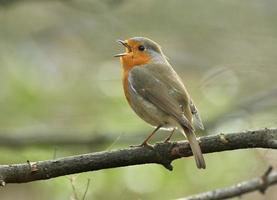 Robin européen photo