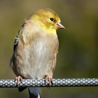chardonneret jaune photo