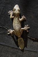gecko à queue de feuille sur fond noir