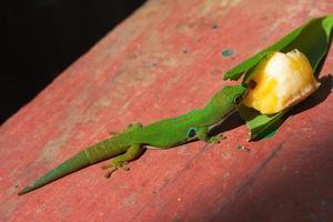 gecko diurne de madagascar photo