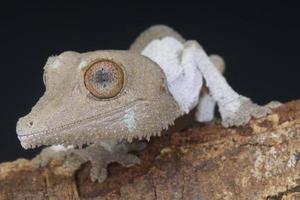 gecko à queue de feuille / uroplatus henkeli