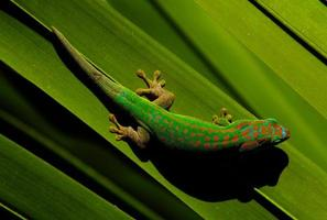 gecko coloré photo