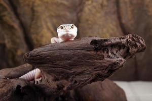 Gecko léopard photo