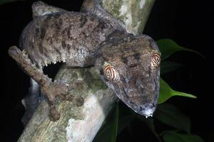 queue de feuille gecko uroplatus fimbriatus de madagascar photo