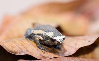 grenouille sur de vieilles feuilles de mangue brune photo