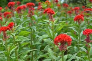 fleur de crête de coq rouge