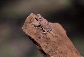 Lézard cornu en Arizona, Phyrnosoma hernandesi photo