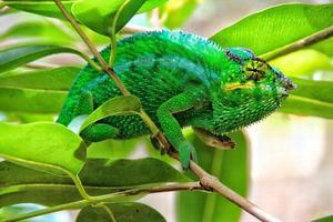 caméléon vert, madagascar photo