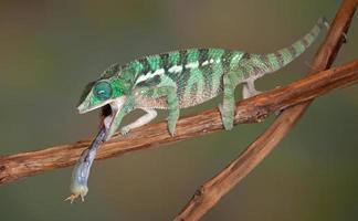 langue de caméléon sur le cricket photo