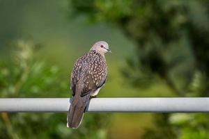 colombe tachetée photo