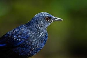 portrait, plein cadre, bleu, sifflement-muguet, (myophonus, caeruleus) photo