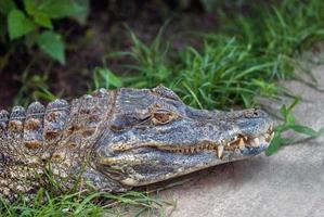 alligator au repos