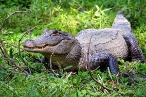 alligator américain sur l'herbe verte