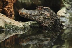 caïman à front lisse (paleosuchus trigonatus). photo