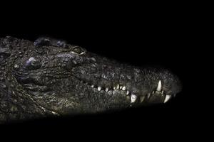 crocodylus niloticus photo