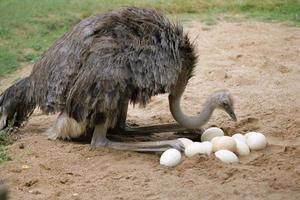 autruche et ses oeufs au nid photo