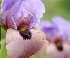 maleka iris
