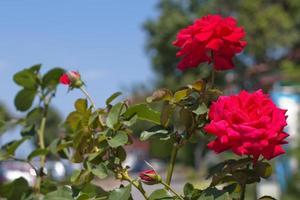 roses rouges photo