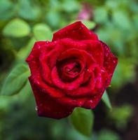 belle rose rouge avec des gouttes de pluie