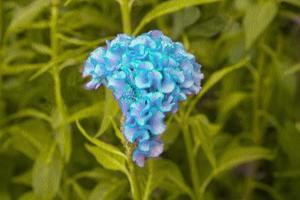 crête de coq fleurs chinois laine laine fleur
