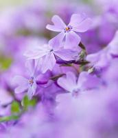 fleurs bleues colorées. Fleurs pourpres photo