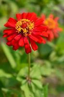 fleur colorée rouge dans la nature