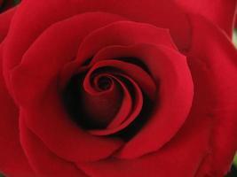 closeup rose rouge photo