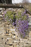 fleurs sur mur de pierre sèche photo