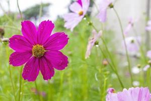 fleurissent des fleurs roses dans le jardin. photo