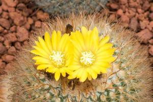 fleurs de cactus photo