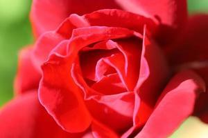 bouton de rose
